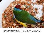 the gouldian finch  erythrura... | Shutterstock . vector #1057498649