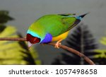 the gouldian finch  erythrura... | Shutterstock . vector #1057498658