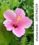 hibiscus rosa sinensis the...   Shutterstock . vector #1057540259