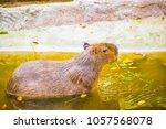 capybara in thai  thailand.   Shutterstock . vector #1057568078