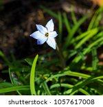 dainty pale blue starflower... | Shutterstock . vector #1057617008
