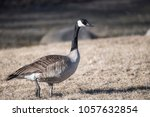 Small photo of Goose with bland of grass dropping from their mouth.