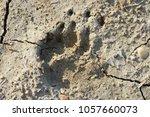 footprints of a eurasian badger ... | Shutterstock . vector #1057660073