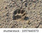 footprints of a eurasian badger ... | Shutterstock . vector #1057660373