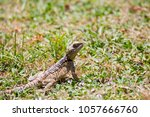 gray lizard on a green meadow... | Shutterstock . vector #1057666760