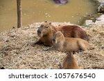 photo of capybaras   Shutterstock . vector #1057676540