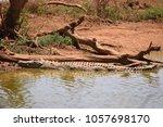 Alligator In Waterhole At...