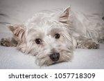 West Highland White Terrier...