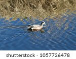 Small photo of American widgeon duck swimming in a pond on a sunny day