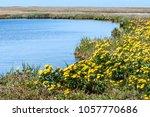 marsh marigold  caltha... | Shutterstock . vector #1057770686