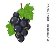 vector black currant colorful... | Shutterstock .eps vector #1057775720