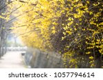 beautiful forsythia in spring... | Shutterstock . vector #1057794614