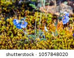 dwarf jacob's ladder ... | Shutterstock . vector #1057848020