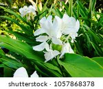 these are butterfly ginger... | Shutterstock . vector #1057868378