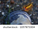 larva of the acronicta cinerea... | Shutterstock . vector #1057873304