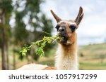 A Funny Llama Close Up Eating...