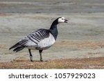 barnacle goose  branta... | Shutterstock . vector #1057929023