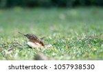 sparrow focus selected... | Shutterstock . vector #1057938530