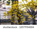 yellow spring blossoms of... | Shutterstock . vector #1057954004