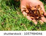 hopea odorata  iron wood ... | Shutterstock . vector #1057984046