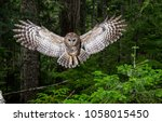 Small photo of A Female Spotted Owl Hangs in the Air in Full Swoop. She lives in an-growth forest in Washington State. The species is nearly extinct now in the state. This female is among the very last.