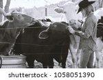 Cowgirl In Western Wear Feedin...