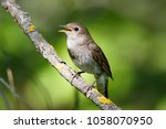 thrush nightingale  luscinia... | Shutterstock . vector #1058070950