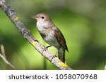 thrush nightingale  luscinia... | Shutterstock . vector #1058070968