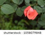 beautiful red rose on green... | Shutterstock . vector #1058079848