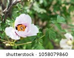 bee collects nectar and flies.... | Shutterstock . vector #1058079860