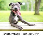 a happy blue and white pit bull ...   Shutterstock . vector #1058092244