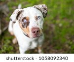 a catahoula leopard dog mixed... | Shutterstock . vector #1058092340