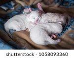 White  Red  Grey Kittens...