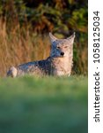 Small photo of Coyote - (Canis latrans)