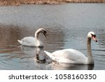 swan pair swimming on a warm...   Shutterstock . vector #1058160350