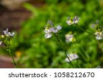 dainty small two lipped blooms... | Shutterstock . vector #1058212670