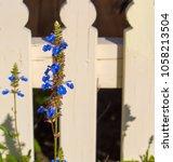 dainty  blue flower spires  of  ... | Shutterstock . vector #1058213504