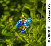 dainty  blue flower spires  of  ... | Shutterstock . vector #1058213510