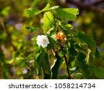 delicate dainty fragrant white... | Shutterstock . vector #1058214734