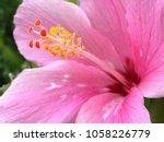 Hibiscus Rosa Sinensis The...