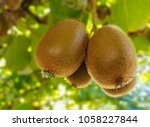 close up of ripe kiwi fruit... | Shutterstock . vector #1058227844