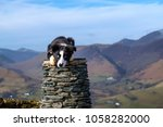 Border Collie Sheepdog Puppy...
