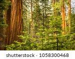 giant sequoias  redwoods ... | Shutterstock . vector #1058300468