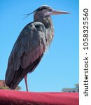 Small photo of Great heron isolated against a blue sky background. Crippled one legged bird on a red roof of shed near lake coastline in Texas.