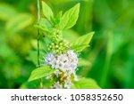 mentha canadensis  japanese... | Shutterstock . vector #1058352650