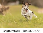 Stock photo small old dog runs and flies over a green meadow in spring jack russell terrier hound years old 1058378270