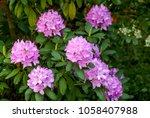 Catawba Rhododendron Cultivar ...