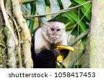 white headed capuchin monkey ... | Shutterstock . vector #1058417453