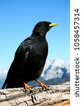 Small photo of Alpine chough sits on fence