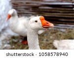 proud goose on the farm during... | Shutterstock . vector #1058578940